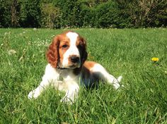 Milton in the garden #welshspringerspaniel