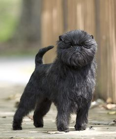 Banana Joe, Best in Show at the Westminster Kennel Club Dog Show 2013: The Affenspinscher is a toy dog originating in Germany in the 1600's. Affe means ape or monkey in German, hence the 'Monkey' Dog!  #Dogs #Affenpinscher