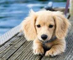 A Golden Wiener. (Golden Retriever, Wiener Dog Crossbread) it's so cute!