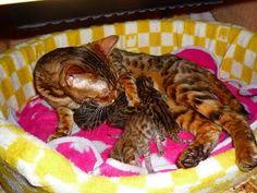 ドタバタ騒動 後半の画像 | ベンガル猫 のんびりお気楽 日記