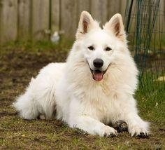 German Shepherd Colors, White Swiss Shepherd, German Shepherd Dogs, Schnauzer, Beautiful Wolves, White Wolf, All Dogs, Dog Breeds, Dog Lovers