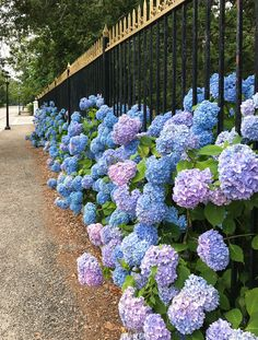 Hydrangeas in the Newport Landscape Sky Blue Eyes, City By The Sea, Home Exterior Makeover, Garden Images, Flowering Shrubs, Garden Accessories, Spring Garden, Newport, Mother Nature
