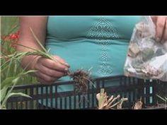 Flower Bulbs : How to Store Iris Bulbs - YouTube
