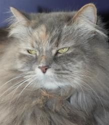 Chloe Lynne is an adoptable Dilute Tortoiseshell Cat in Muncie, IN. Beautiful Chloe Lynne is a stunning girl.. She has a long luxurious coat that matches her graceful and regal personality. She is abo...