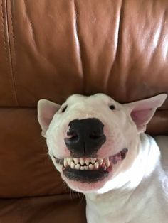 You are powerless against a Bull Terrier's greatest weapon: The squinty smile