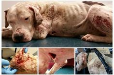Justice For Buddy! Severely Mistreated And Injured Dog Found In Melrose, Houston!