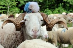 A sheep is decorated with a wool bobble as some sheeps flanked by 30 shepherds are on their way to the mountain summer pasture in Oust, southwestern France. New Zealand Earthquake, Pet Dogs, Dog Cat, Car Bomb, How Big Is Baby, Sheep, Knit Crochet, Cute Animals, Creatures