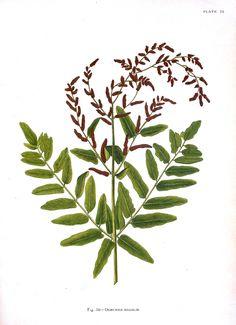 Botanical - Indian Ferns_10