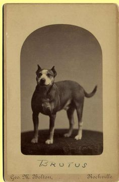 Brutus, Rockville, Connecticut 1880 colección C.H.