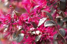 Loropetalo Fire Dance  Il Loropetalum chinensis 'Fire Dance' (Loropetalo Fire Dance) è un arbusto decorativo con una bellissima colorazione di un bel colore verde scuro tendente al rosso, fogliame arcuato, leggermente ricadente. Grazie al suo portamento il Loropetalum chinensis 'Fire Dance' è ideale per siepi basse informali e larghe. La sua fioritura appariscente è da primavera a metà estate, sbocciano fiori con petali allungati, profumati e di color rosa fucsia molto decorativi.