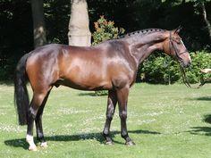 Warmblood Horses, Oldenburg, Passion, Animals, Animales, Animaux, Animal, Animais