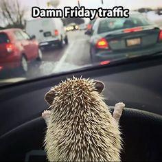 My Hedgehog Drives Me Everywhere. adorable pics to celebrate Hedgehog Day Feb] Hedgehog Day, Cute Hedgehog, Hedgehog Animal, Pygmy Hedgehog, African Hedgehog, Sonic Hedgehog, Photo Panda, Animals And Pets, Funny Animals