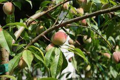 Garden delight - Peaches