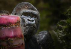 Tlcharger Fond d'ecran gorille, singe, poing Fonds d'ecran gratuits pour votre…