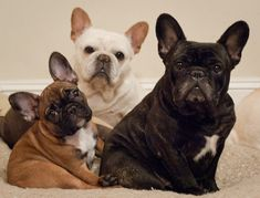 Say Cheeze....French Bulldogs