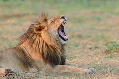 What big teeth you have! Gorgeous lion at Busanga Bush Camp