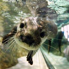 Otter underwater