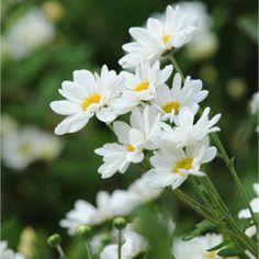 Growing daisies