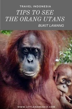 Tips to see Orang Utans in Bukit Lawang, Indonesia. Experience the wildlife in the pristine jungle.