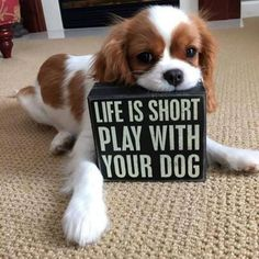 Life is short play with your dog King Charles Spaniel, Cavalier King Charles Dog, I Love Dogs, Puppy Love, Cute Puppies, Cute Dogs, Spaniel Puppies, Dog Rules, Dog Life