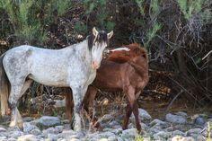 salt river horses - Google Search