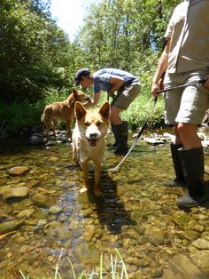 Our dingoes cooling off in Badger Creek at Healesville Sanctuary