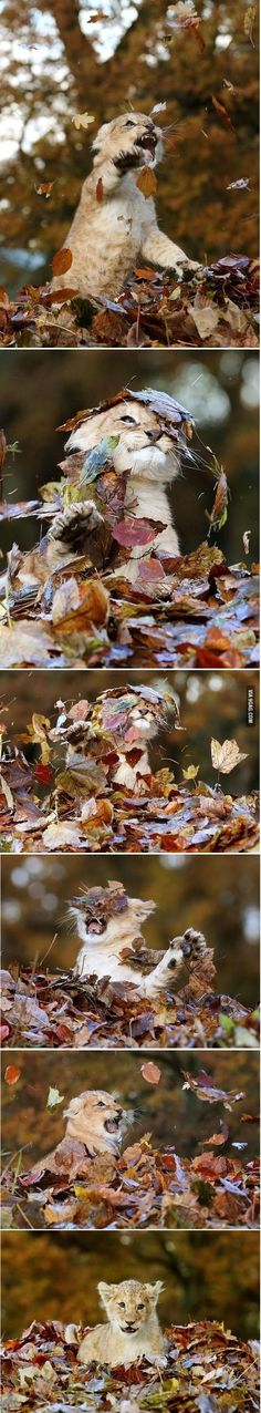 11 week old lion plays with leaves