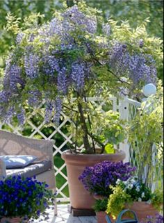 1000 images about wisteria tree on wisteria tree wisteria and wisteria trellis