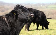 Proud Welsh Black - by Carl Stringer