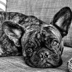 You still looking for art? walkies? #frenchie #frenchbulldog #mymumissoboring this is @her_royal_smelliness