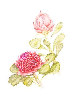 This beautiful fine art print of an original watercolour painting depicts two blooms of the Waratah (Telopea speciosissima), an iconic native
