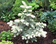 Picea pungens or the Spring Ghost Colorado Spruce is a slow-growing upright conifer with light blue-green needles. Evergreen and hardy to zones 3-8. In spring new growth emerges a wonderful cream white which covers the entire tree. By June the white needles fade to the normal blue-green again. Prefers sun/partial shade in well-drained soil. 6' tall x 3' wide in 10 years.