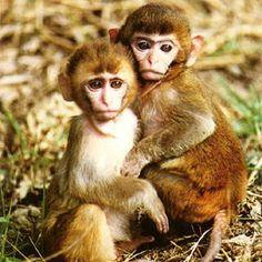 assam-macaques