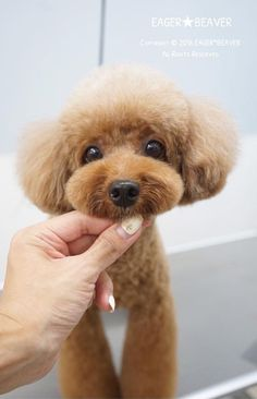 The Hottest Hairstyles for Your Dogs Teddy Bear Puppies, Tiny Puppies, Puppies And Kitties, Cute Cats And Dogs, Cute Puppies, Dog Grooming Styles, Poodle Grooming, Pet Grooming, Mini Poodles