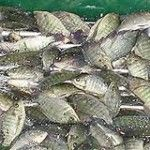 An agreement signed between the Ministry of Agriculture and the Itaipu dam, will jointly support the production of tilapia fry in the nursery center of Eusebio Ayala.  - See more at: http://aquaculturedirectory.co.uk/tilapia-hatchery-to-benefit-3000-families-in-paraguay/#sthash.Yw91Nf3z.dpuf