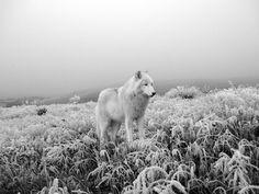 Winter Wolf- Willow Wilson