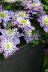 Clematis Crystal Fountain-Plants