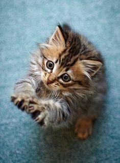 An adorable Maine Coon kitten.