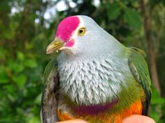 Image detail for -... species from the Marianasincluding the endangered Mariana Fruit Dove