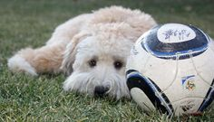 Koda the Soft Coated Wheaten Terrier Pictures 897769