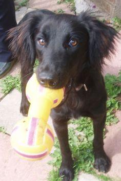 Border collie-spaniel cross puppy <3 holy crap it's Finn!!
