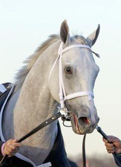 Hansen, champion 2yo colt by Tapit. Barbara Livingston photo