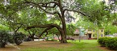 https://flic.kr/p/Gc5MBQ | The bowing tree | Savannah, Ga