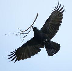 "***LOVE** this Happy Corvidae ""Crow Homemaker"" by Crow Art, Raven Art, Art Beauté, Blackbird Singing, Les Fables, Quoth The Raven, Raven Tattoo, Tattoo Bird, Jackdaw"