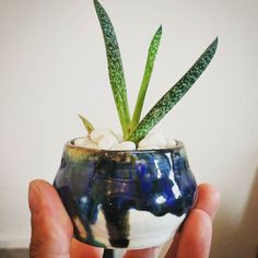 This works! Small ish Gasteria (verrucosa) for the win! Not an aloe I know but this one propergates like mad. . . . . . . . #succulents #gasteria #verrucosa #pot #ceramics #glaze #pottery #craft #colour