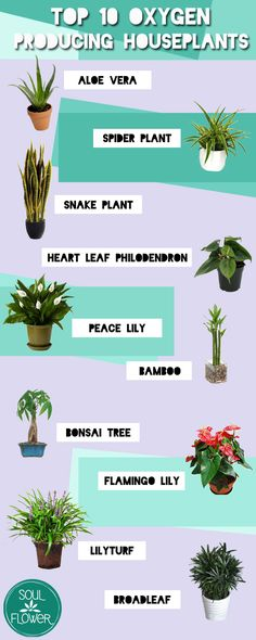 Top 10 Oxygen Producing Houseplants | Soul Flower Blog