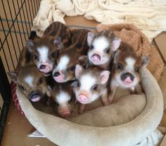 These are cute. I've never seen a striped pig