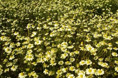 A Camomile Lawn