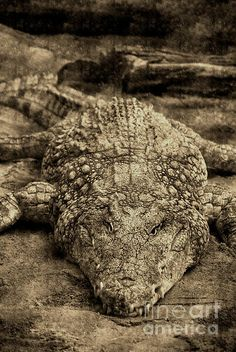 Crocodile hasn't changed in 100's of years. Epitome of evolution.