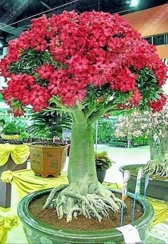 stylish Popular Indoor Bonsai Trees Decoration Ideas To Provide Freshness In The Home Bonsai Tree Types, Indoor Bonsai Tree, Indoor Trees, Bonsai Plants, Bonsai Garden, Bonsai Trees, Growing Mushrooms At Home, Garden Mushrooms, Desert Rose Plant